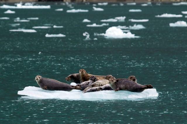 Harbor Seals on an Iceberg - Small Ship Cruise Alaska