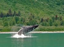Humpback whale breaching in Alaska - David B Cruise Alaska