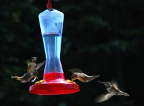 Hummingbirds at the David B's Bird feeder
