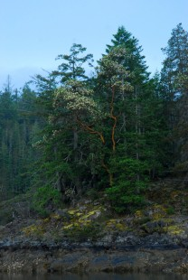 Madrone Tree in Desolation Sound