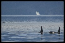 killer whales in Chatham Strait