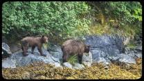 Two brown bears search the beach for food in Alaska - Small Ship Criuise