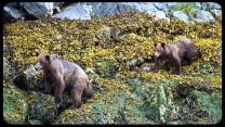 Alaska Coastal Brown Bears walking on kelp covered rocks - Small Ship Cruise