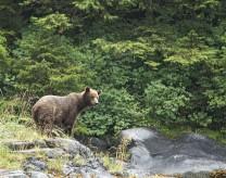 Brown bear at Baranof Warm Springs Bay Alaska