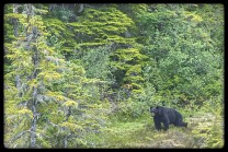 Black bear in Endicott Arm Small Ship Alaska Criuise