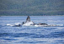 Humpback whales bubble net feeding in Chatham Strait