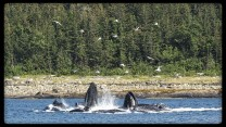 Humpback whales bubble net feeding near Admiralty Island Alaska