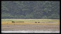 Brown bears on tidal flats on Admiralty Island in Alaska