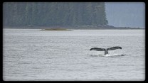 Humpback whale diving near Cannery Cove Alaska