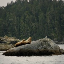 Two sea lions in the inside passage ~ Small Ship Cruise