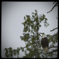 Bald eagle in the Great Bear Rain Forest