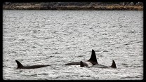 Killer whales in Chatham Strait, small ship cruise alaska