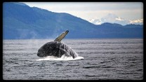 Humpback whale in Alaska small ship cruise
