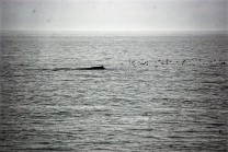 Humpback whale with red necked phaloropes