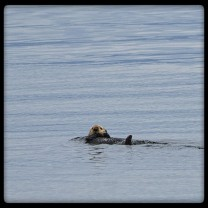 Sea Otter in Frederick Sound Small Boat Cruise