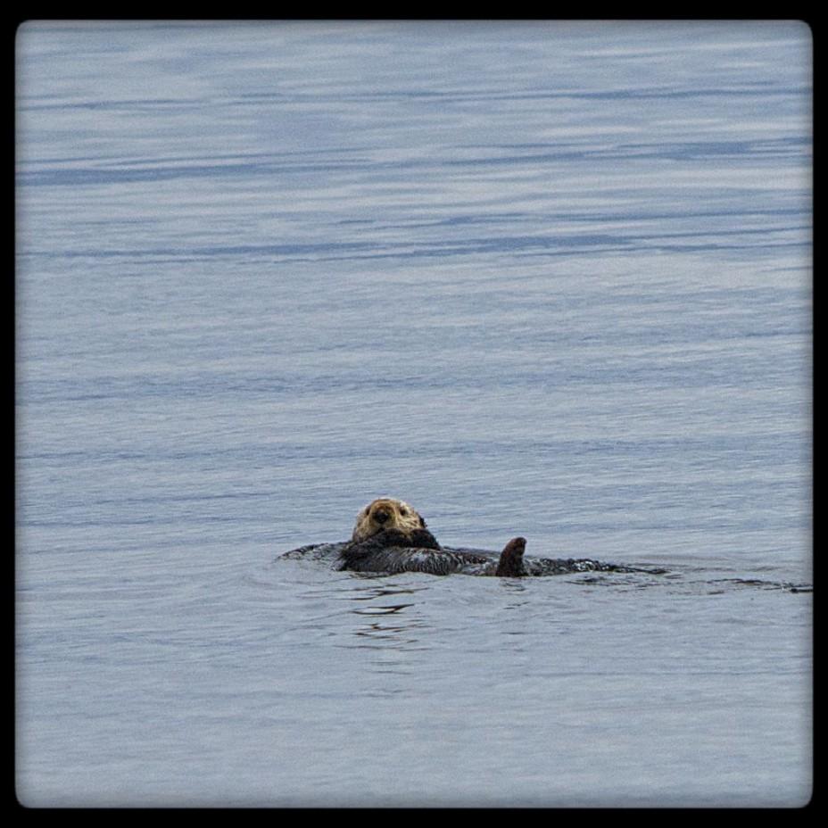Sea Otter in Frederick Sound Small Boat Cruise