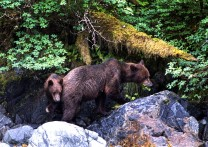 Brown bear with cub at Baranof Warm Springs Bay