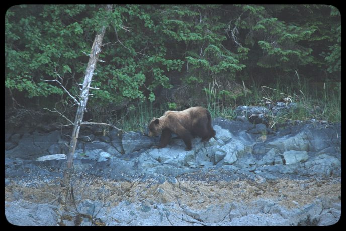 Alaska Brown Bear Watching