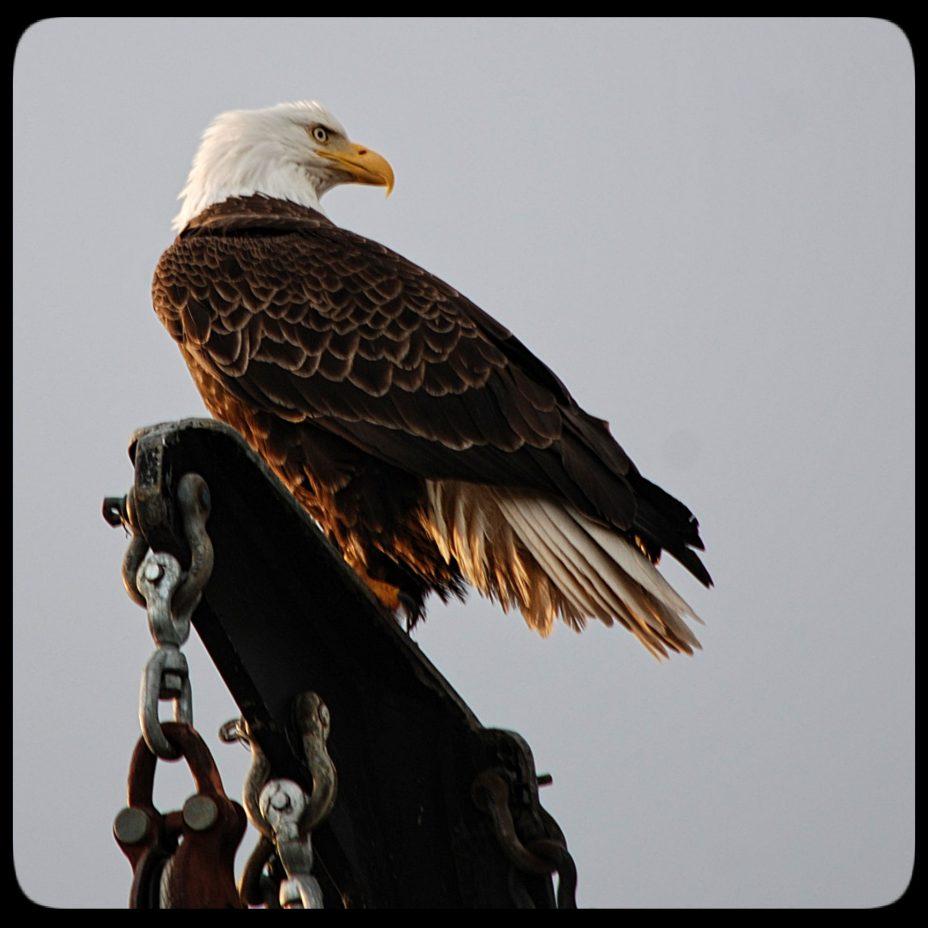 Bald eagle in Petersburg Alaska