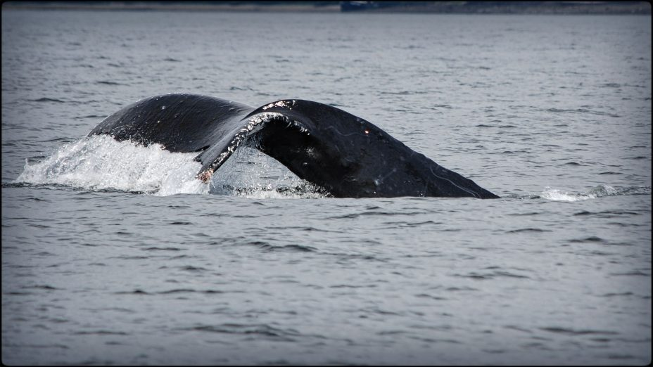 whale watching in alaska. David B small ship cruises