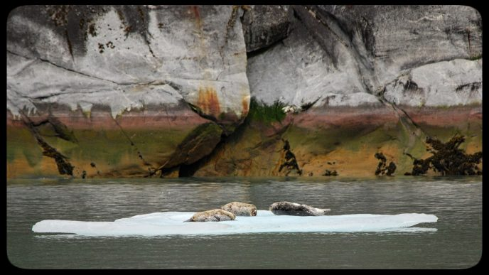 Harbor seals hauled out on an ice floe in Endicott Arm, Alaska