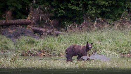 Bear watching cruise. Alaska small ship cruise mv David B