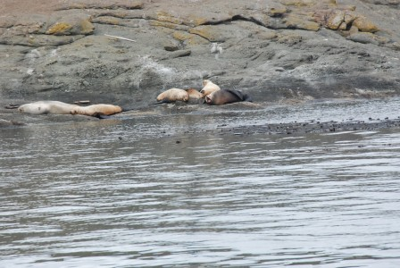 Sea lions in the San Juan Islands