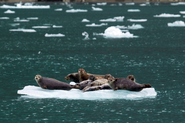 Harbor Seals on an Iceberg - Small Ship Cruise Alaska