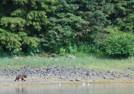 Brown bear viewing in Cannery Cove on an 8-day Alaska cruise on the David B