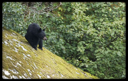 Black bear looking at kayakers un Tracy Arm