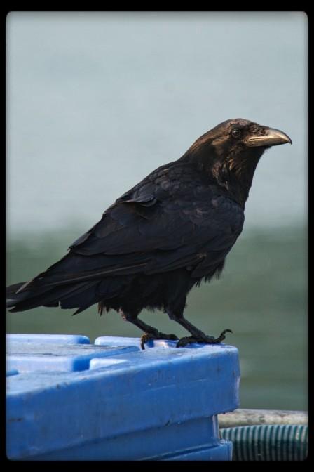 Crow in Alaska
