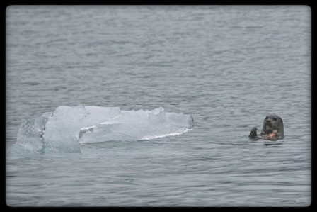 Seal eating a fish in Tracy Arm