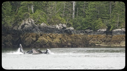 humpback whale watching on a small ship cruise in the Inside Passage and Great Bear Rainforest