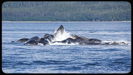 Humpback whales bubble net feeing in Alaska