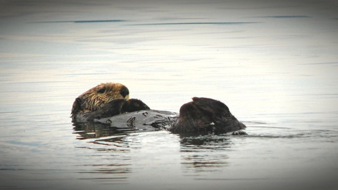 Sea otter in Glacier Bay Photography cruise