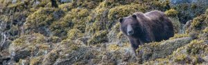 Brown bear veiwing in alaska on a small ship cruise