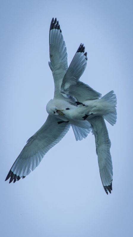 Phtographing kittiwakes in Glacier Bay on a small ship cruise