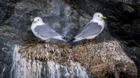 Kittiwakes nesting in Glacier Bay Alaska