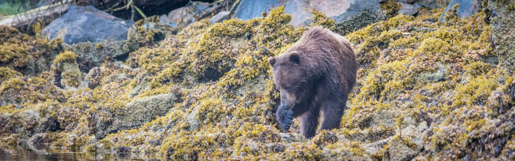 Brown bear licking her paw in Alaska