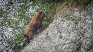 Brown bear rock climbing in Alaska