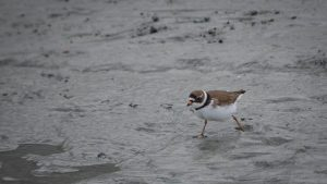 Semi palmated plover in Alaska