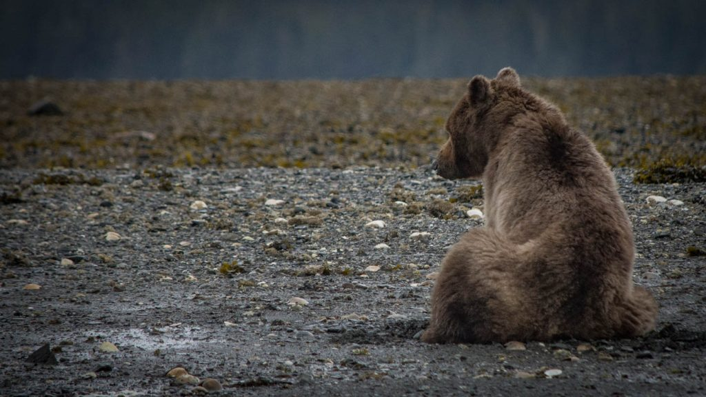 Bear watching in Alaska at Pack Creek on Admiralty Island