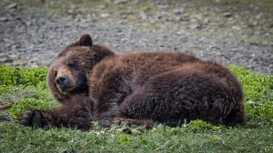 Brown bear at Pack Creek waking up from a nap. Alaska small ship cruise david b