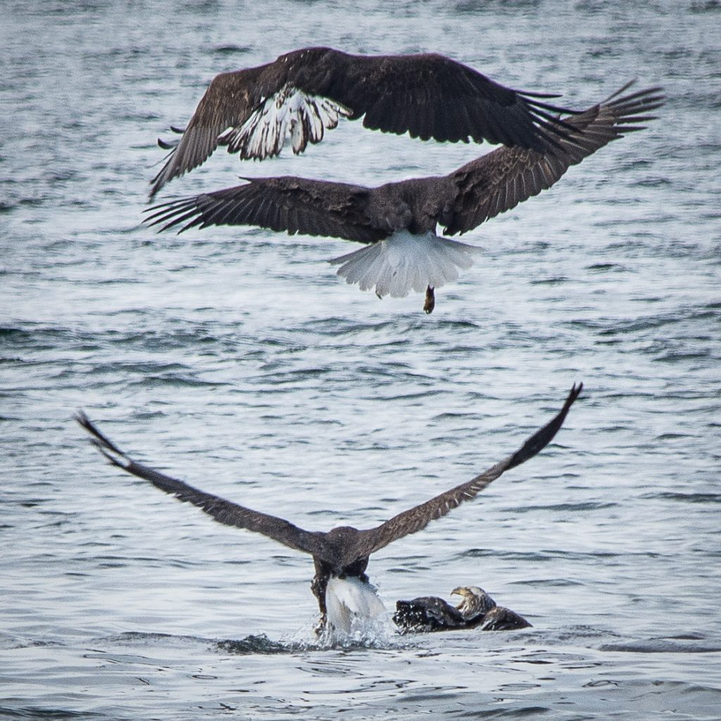 Watching bald eagles fishing in Alaska while on a small ship cruise.
