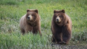 Alaska Bear tours at Pack Creek Bear Viewing Area