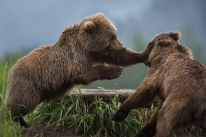 Two Bears Play Fighting - Matt Meisenheimer Photography