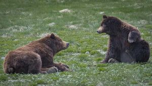 Bear viewing at Pack Creek - David B Small Ship Cruises