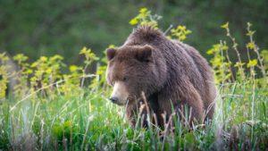 Pack Creek Brown Bear Photography Workshop