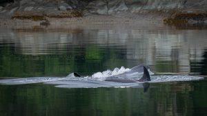 Two killer whales in Alaska's Endicott Arm