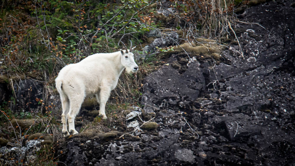 Mountain Goat as seen from small cruise ship in Alaska